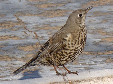 what is a bird mistle thrush
