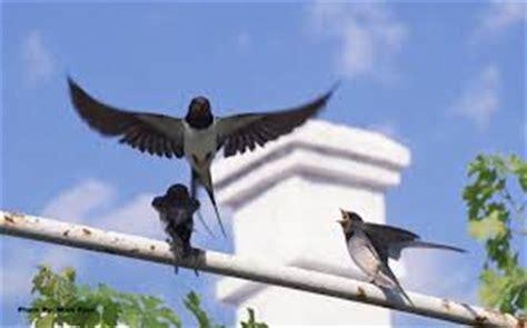 Sarang Walet Pakan Lovebird vir walet arsip situs burung berkicau situs burung