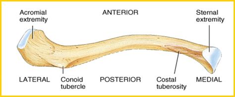 diagram of the clavicle 1093 c two anatomy physiology 1093 with masoud at