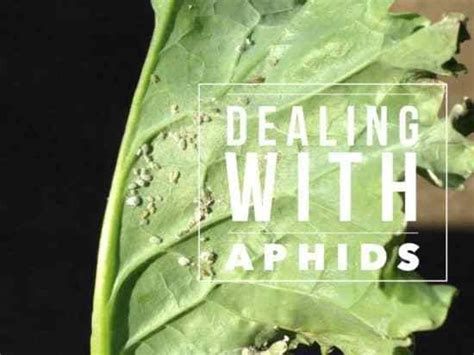 aphids    kill  gardening channel