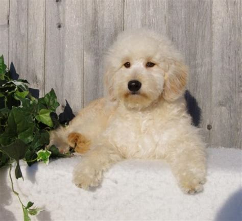mini goldendoodles bc miniature goldendoodle breeders ontario mini doodle pups