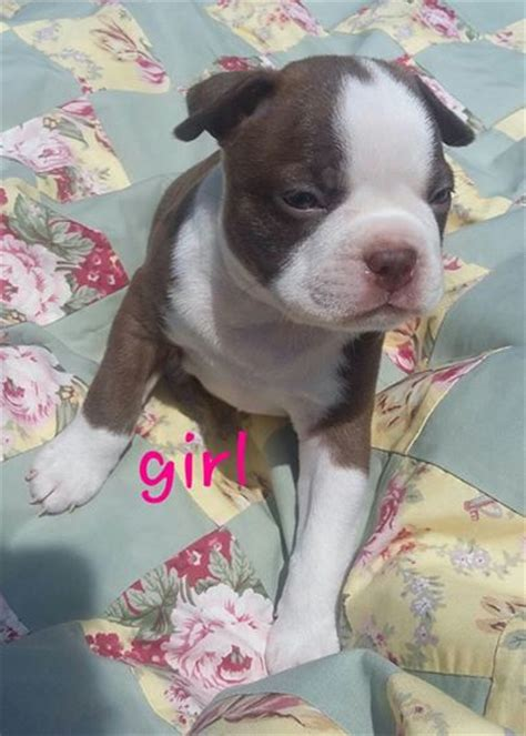 boston terrier puppies for sale in arkansas view ad boston terrier puppy for sale arkansas de witt