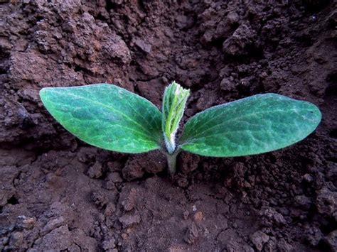 Planter Des Courgette by Semer Et Planter Les Courgettes Quand Et Comment Faire