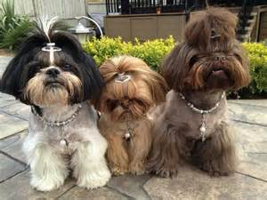 best haircut for shitzuh shih tzu hairstyles shih tzu city