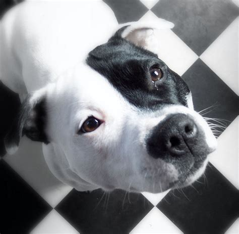 black and white pitbull puppy show the world your pit bull is family stubbydog