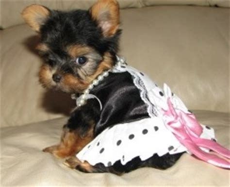yorkie puppies for sale in scranton pa micro teacup yorkie puppies