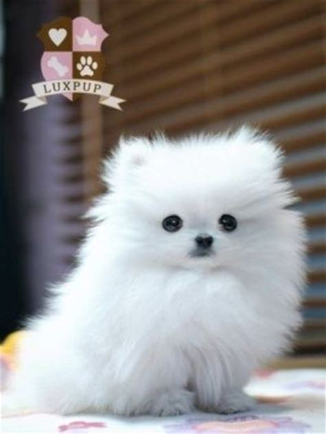pomsky pomeranian pomsky grown teacup breeds picture