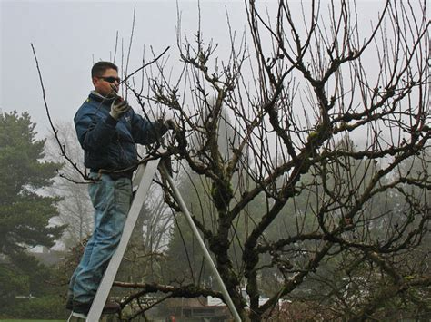 renovation pruning of flowering shrubs renovation pruning by precision landscape services prune