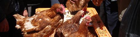 backyard poultry production backyard poultry provides an alternative way to sustain food security and nutrition in