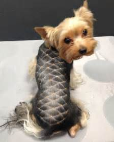 hairstyle for terrier yorkie haircuts terrier cuts and hairstyles
