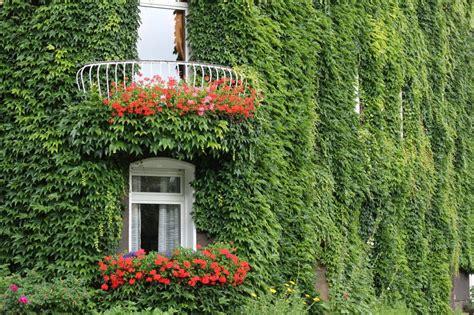 piante sempreverdi con fiori piante da balcone ricanti con fiori e sempreverdi