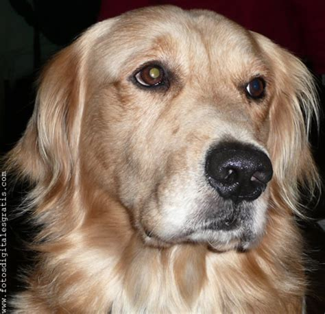 perros golden retriever gratis perro raza golden retriever dorado fotos digitales gratis banco de im 225 genes