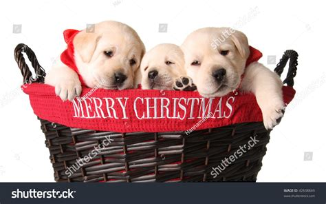 yellow lab puppies   merry christmas basket stock photo  shutterstock