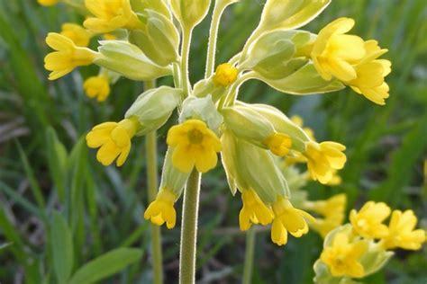 la primula fiori la primula il fiore della primavera inherba il mondo