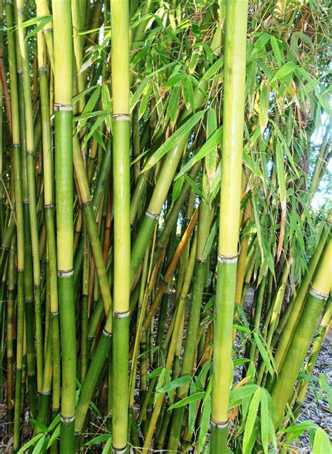 bamboo australia 187 clumping species