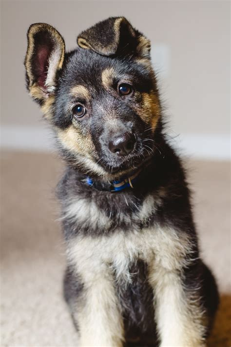 how to a german shepherd puppy how to a german shepherd puppy dogs in our photo