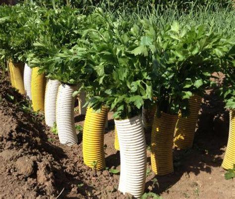 semina sedano coltivare il sedano nell orto