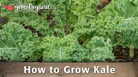 how to raise a how to grow organic kale youtube