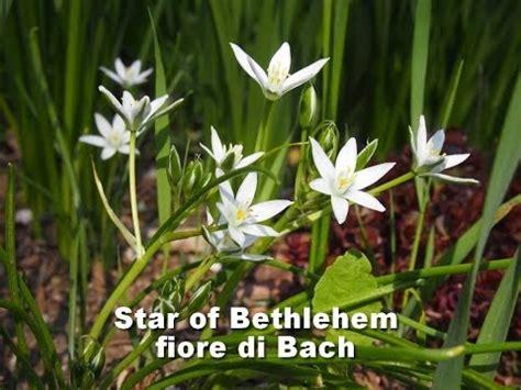 stella di betlemme fiori di bach fiori di bach of bethlehem fioridibach