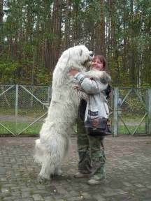 russian dogs 12 best images about russian on big teddy search