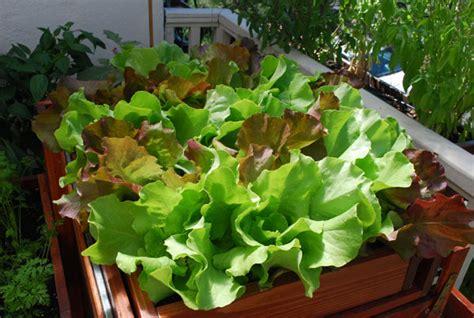 Growing Lettuce, How to Grow Lettuce, Planting Lettuce