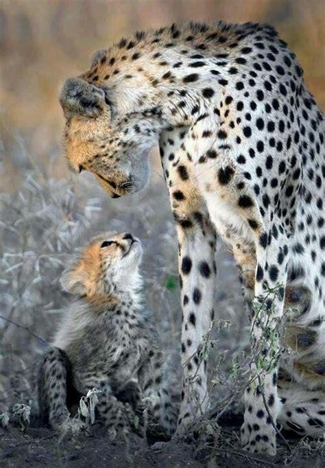 Cheetah Omega cheetahs the baby ones saying hi yelling at me saying well yay rrr cheetah