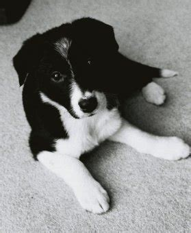 border collie husky mix puppies for sale border collie husky mix puppies