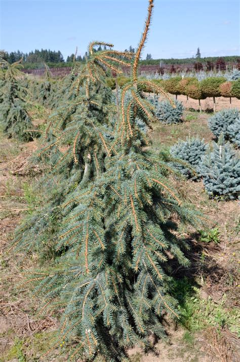 Foliage Of Plants - picea pungens hugo s weeping the site gardener