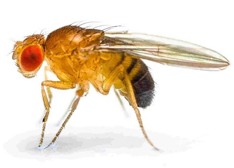 fruit fly information about fruit flies fannie s flypunch