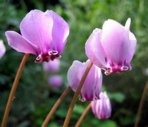 fiore ciclamino ciclamini filippo foto