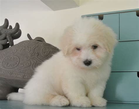 coton de tulear puppies for sale in kc registered coton de tulear puppies for sale rochester kent pets4homes