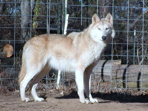 are wolves dogs wolf dogs picture