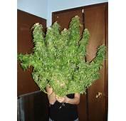 Marijuana Grow Room Design Quotes