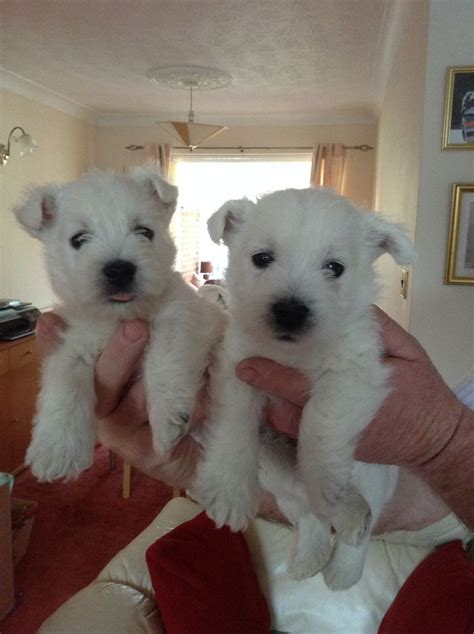 west highland white terrier puppies for sale west highland white terrier puppies for sale car interior design