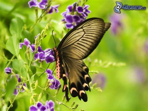 imagenes sobre mariposas imagenes de mariposas sobre flores imagui