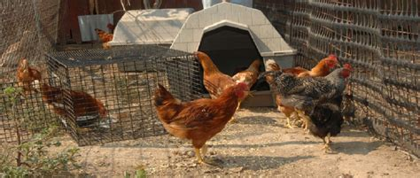 backyard poultry rearing backyard chicken farming backyard chicken farming brings