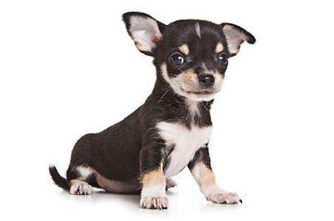 adopt a puppy free adopt a puppy