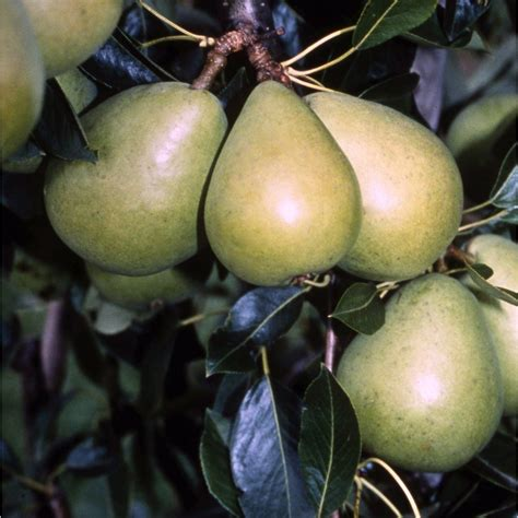 ornamental pear tree fruit invincible delwinor pear tree pear fruit trees for sale