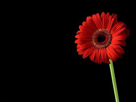 wallpaper black flower red and black flower 4 hd wallpaper hdflowerwallpaper com