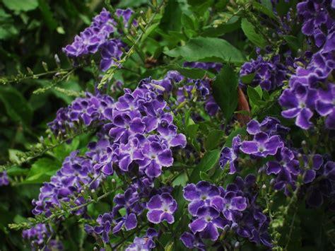 frangipini gardens duranta quot geisha girl quot shrub