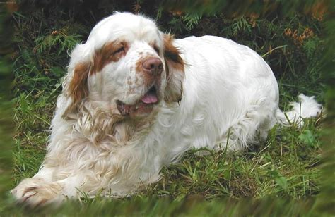 breed temperament breeds clumber spaniel temperament personality dogalize