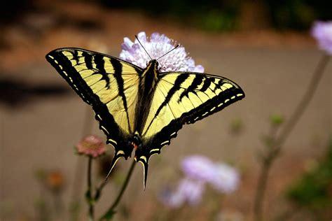 tigre y mariposa imagenes mariposa diurna im 225 genes y fotos