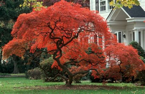 18 best images about japanese maple trees on gardens trees and beautiful