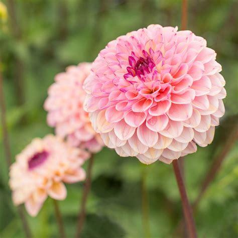 images of flowers dahlia wine eyed white flower farm