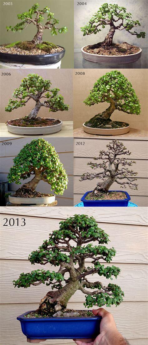 tanaman sukulen portulacaria afra portulacaria afra aka jade bonsai bonsai trees bonsai