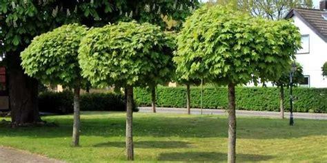 alberello da giardino arredamento piante giardino idee per il design della casa