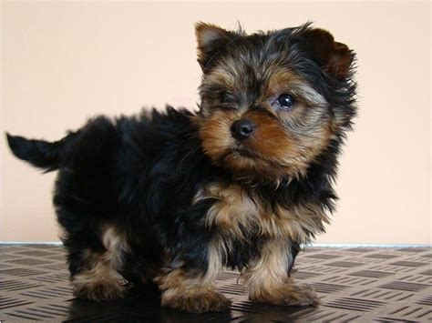 12 week teacup yorkie the 25 best yorkie puppies for adoption ideas on teacup yorkie for