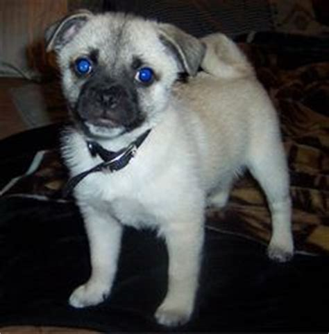 pug husky mix puppies 1000 images about american eskimos different mixes on american eskimo
