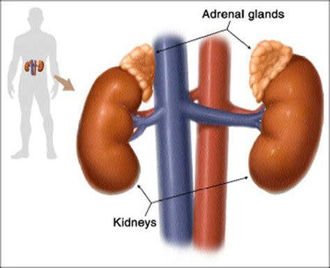 the outer section of the adrenal gland is the the adrenal glands precision nutrition