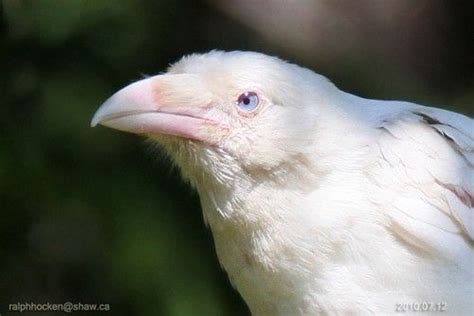 1000 images about birds albino leucistic on pinterest